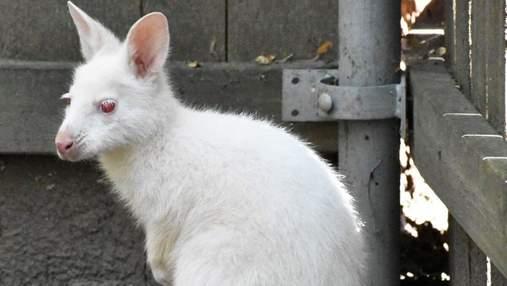 Білий з червоними очима: фото унікального малюка-стрибуна опублікував американський зоопарк