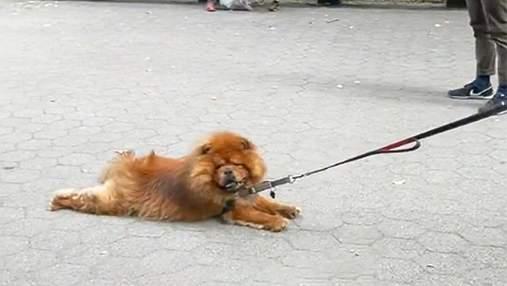 Ленился гулять: какой способ прогулки выбрал хитрый пес – забавное вирусное видео