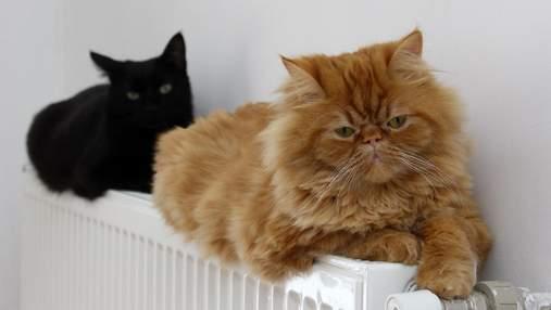 Чи безпечно котам спати на батареях