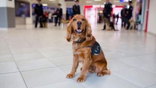 Собаки в аэропорту могут выявлять людей с COVID-19: работает ли это в Украине