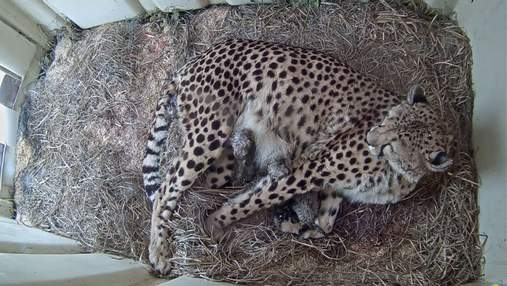 Сразу 5 гепардов родились в заповеднике: за ними можно наблюдать онлайн