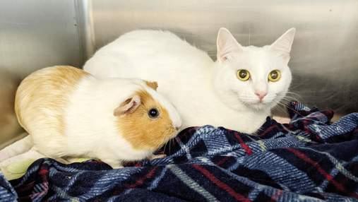 Друзья навек: брошенные морская свинка и кот ищут новый дом вместе – милейшие фото и видео