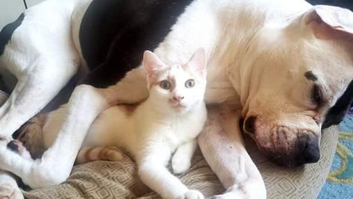 Целебный кот: как пушистик спасает грозного питбуля от страха и тревоги