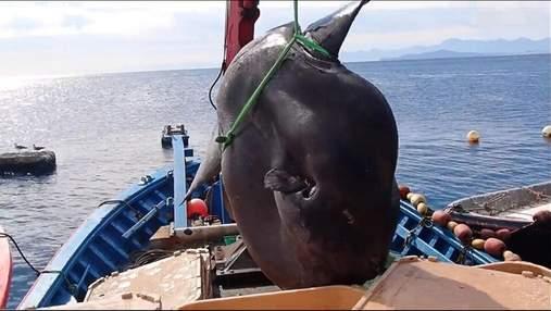 Рекордный улов: огромную рыбу-луну поймали у берегов Испании – удивительное видео