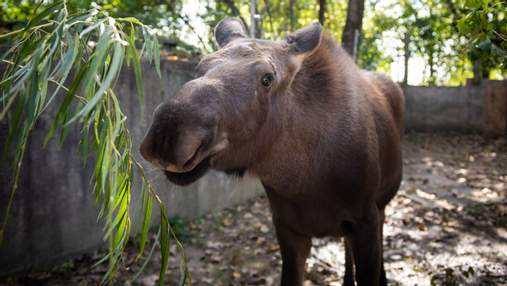 Лось Суничка: як самотнє лосеня врятували та подарували йому новий дім