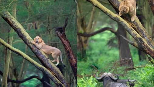 Чому лев намагався заховатися від буйволів на дереві: вражаючі кадри хижака