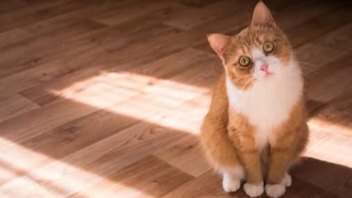 Кіт ходить за господарем усюди: чи свідчить це лише про любов
