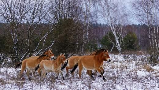 Рідкісних коней Пржевальського помітили взимку у Чорнобильській зоні: фото
