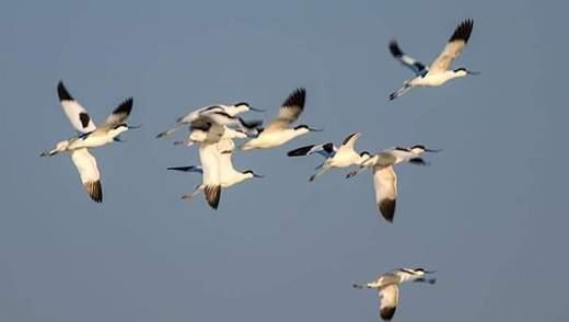 Одеський заповідник відвідали рідкісні птахи – чоботарі: фото