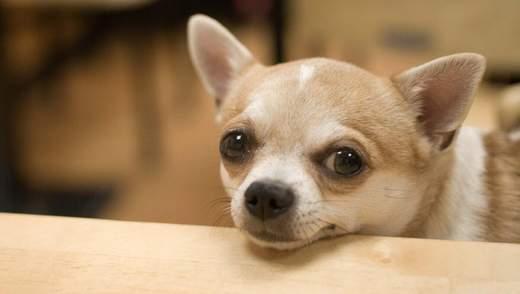 Лучшие для квартиры: ТОП 10 маленьких пород собак