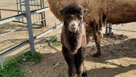 В Одесском зоопарке родился верблюжонок: милые фото