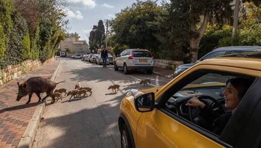 Кабаны стали неотъемлемой частью израильского городка: как с ними уживаются люди