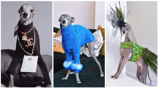 Получает деньги за фотосессии и имеет собственного агента: собака из Монреаля стала иконой стиля